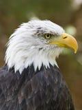 飞过的掠食性动物 免版税库存图片
