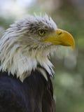 飞过的掠食性动物 库存照片