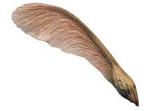 飞过的槭树成熟种子 免版税图库摄影