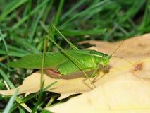 飞过的清楚的katydid中心粒团rhombifolium 库存图片
