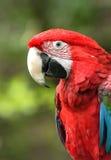 飞过的绿色金刚鹦鹉 免版税库存图片