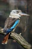 飞过的蓝色dacelo kookaburra leachii 库存图片