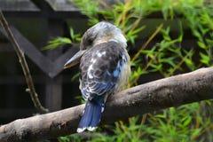 飞过的蓝色kookaburra 免版税库存照片