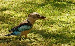 飞过的蓝色kookaburra 免版税图库摄影