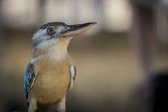飞过的蓝色kookaburra 库存图片