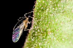 飞过的蚜虫叶子 免版税库存照片
