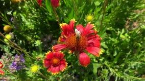 飞过的蜂慢慢地飞行到植物,从花收集蜂蜜的花蜜在私有蜂房 影视素材