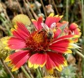 飞过的蜂慢慢地飞行到植物,收集花蜜 库存照片