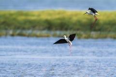 黑飞过的高跷在Arugam海湾盐水湖,斯里兰卡 库存图片