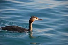 飞过的鸟黑色公用himantopus高跷水 库存图片