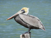 飞过的鸟黑色公用himantopus高跷水 免版税库存图片