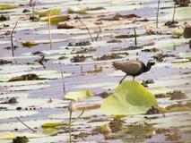 飞过的鸟黑色公用himantopus高跷水 免版税库存照片