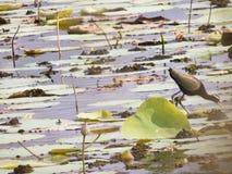 飞过的鸟黑色公用himantopus高跷水 免版税图库摄影