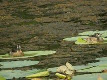 飞过的鸟黑色公用himantopus高跷水 库存照片