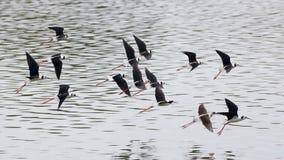 飞过的黑色飞行高跷 免版税图库摄影
