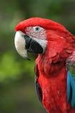 飞过的绿色金刚鹦鹉 免版税图库摄影