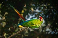 飞过的绿色金刚鹦鹉 库存照片