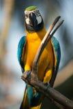 飞过的绿色金刚鹦鹉 库存图片