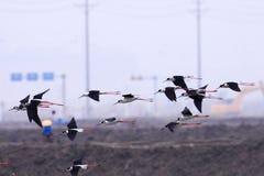 飞过的黑色高跷 免版税库存图片