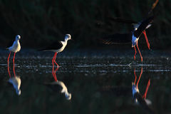 飞过的黑色高跷水 免版税图库摄影