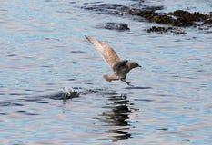飞过的glacous鸥 免版税库存图片