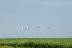飞过红被加冠的起重机自然保护查龙沼泽地小组红被加冠的起重机 免版税库存图片
