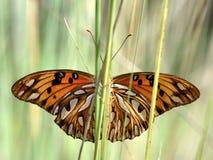 飞过从加勒比的一只黑脉金斑蝶 图库摄影