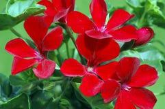 飞雪黑暗的天竺葵红色 库存照片