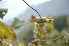 食物新鲜的绿色榛子结构树素食主义者 免版税库存图片