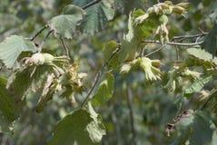 食物新鲜的绿色榛子结构树素食主义者 免版税库存照片