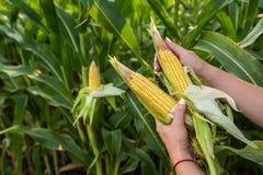 食物玉米特写镜头在绿色领域的 免版税库存图片