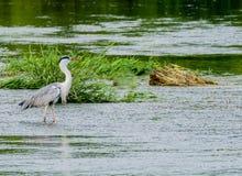 食物的伟大蓝色的苍鹭的巢狩猎 图库摄影