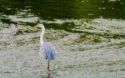 食物的伟大蓝色的苍鹭的巢狩猎 免版税图库摄影