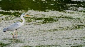 食物的伟大蓝色的苍鹭的巢狩猎 免版税库存照片