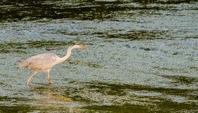 食物的伟大蓝色的苍鹭的巢狩猎 免版税库存图片