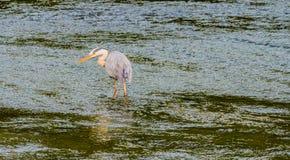 食物的伟大蓝色的苍鹭的巢狩猎 库存图片
