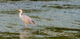 食物的伟大蓝色的苍鹭的巢狩猎 库存照片