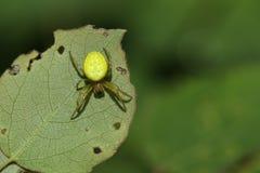 食物的俏丽的黄瓜绿色天体蜘蛛Araniella cucurbitina sensu stricto狩猎在叶子的下面 库存图片