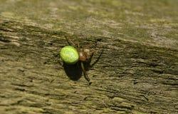 食物的俏丽的黄瓜绿色天体蜘蛛Araniella cucurbitina sensu stricto狩猎在木篱芭 免版税库存照片