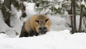 食物的发怒狐狸狩猎在与常青树的深雪 图库摄影