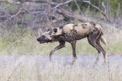 食物的孤立非洲豺狗狩猎在灌木 库存照片
