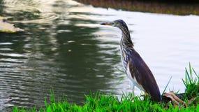 食物的沼泽鸟 库存照片