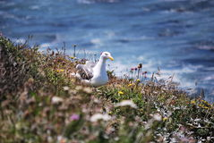 食物的海鸥狩猎在地面上 库存图片