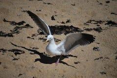 食物的海鸥狩猎在地面上 免版税图库摄影