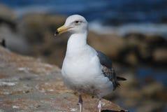 食物的海鸥狩猎在地面上 图库摄影