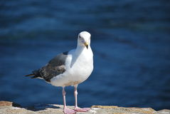 食物的海鸥狩猎在地面上 免版税库存照片