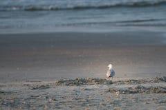 食物的海鸥狩猎处于低潮中 免版税库存照片