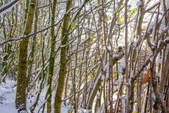 食物的灰鼠狩猎在冬天 库存图片