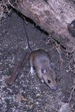 食物的狂放的老鼠换气 免版税图库摄影