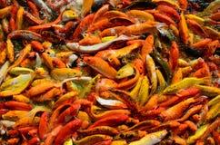 食物的繁忙的拥挤饥饿的五颜六色的Koi鱼或花梢鲤鱼群 免版税库存照片